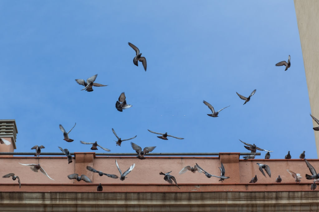 Pigeon Pest, Pest Control in Harrow, Harrow on the Hill, HA1. Call Now 020 8166 9746