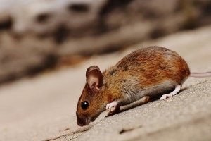 Mouse extermination, Pest Control in Harrow, Harrow on the Hill, HA1. Call Now 020 8166 9746